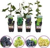 Druivenmix - set van 4 verschillende druiven - 2 blauwe en 2 witte druiven - hoogte 50-60 cm - zelfbestuivend, winterhard