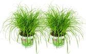 ZynesFlora   Cyperus – Kattengras - 2 Stuks - Ø 12 cm - ↕ Hoogte: 25-30 cm – Kamerplant