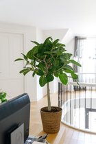 Ficus Benghalensis Audrey inclusief mand - kamerplant in speciale cadeauverpakking
