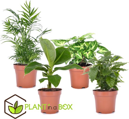 PLANT IN A BOX Budget mix van 4 luchtzuiverende kamerplanten - pot ⌀12 cm - Hoogte ↕ 25 - 40 cm