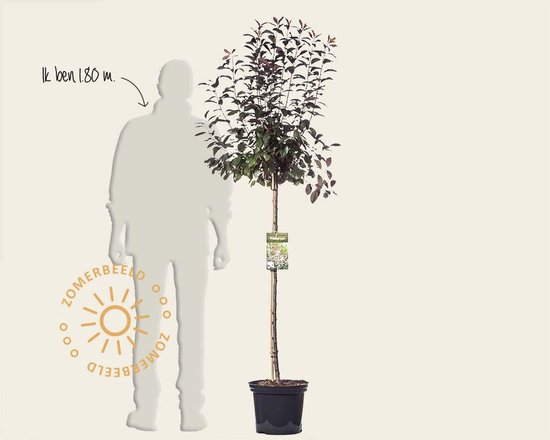 Prunus cistena - 120 cm stam