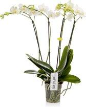 Theatro N°12 Orchidee Cadeau