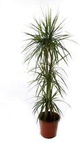 Kamerplant - Dracaena marginata - ↑ 120cm