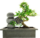 Bonsaiworld Bonsai Zen Stenen Waterval Set - 10 jaar oud - ↕️ 30-35 cm