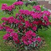 Rhododendron Nova Zembla Totaalhoogte 100-120 cm