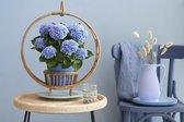Magical Revolution - hortensia - blauw - 14 cm