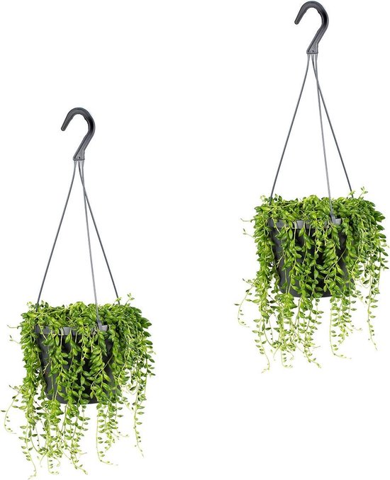 Senecio 'Rowleyanus' | Kruiskruid in hangpot per 2 stuks - Kamerplant ⌀17 cm - ↕20 cm