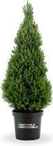 koophierjekerstboom.nl Picea glauca conica 120cm mini kerstboom in pot.