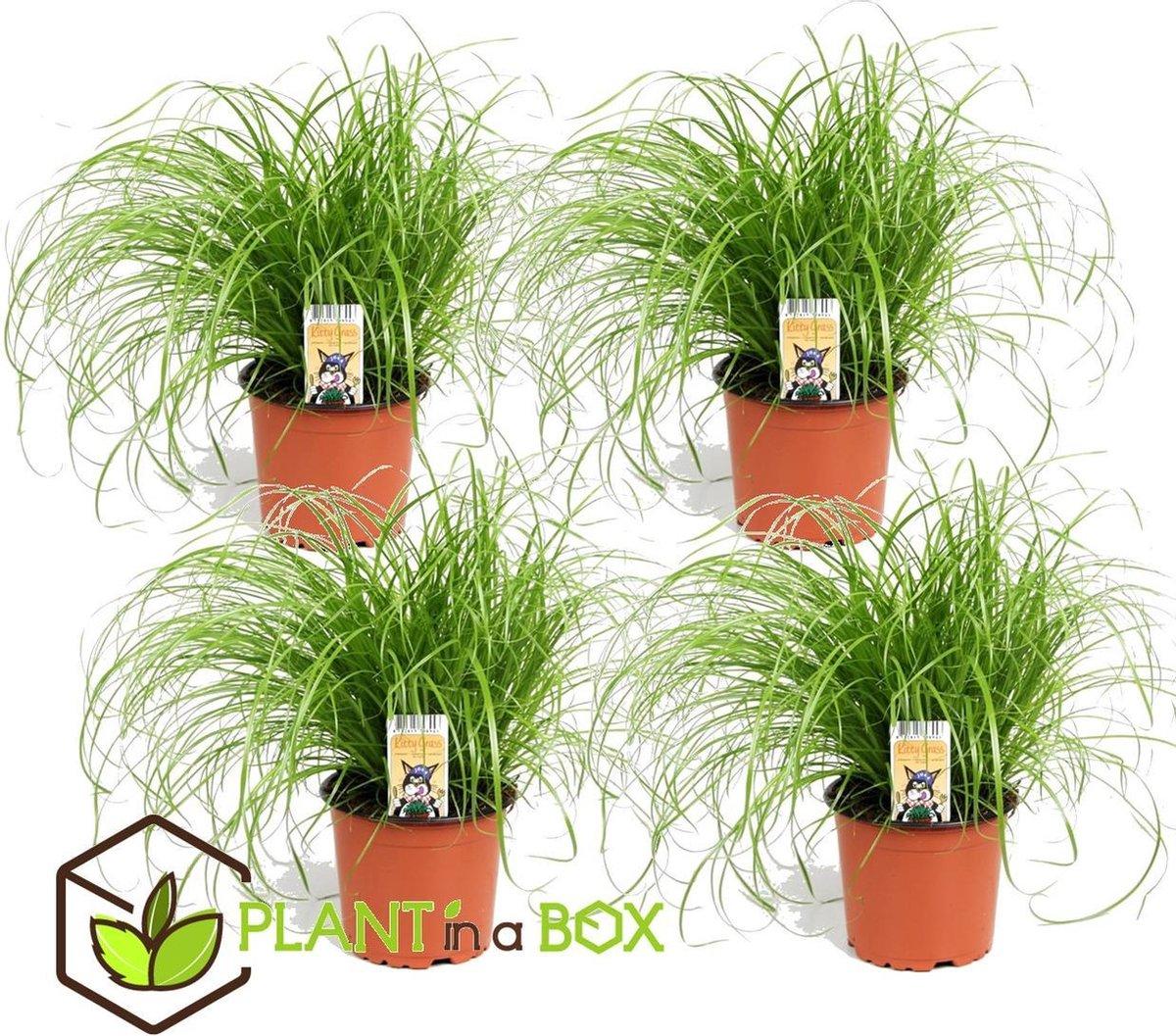 Plant in A Box - Set van 4 Cyperus kattengras planten - Pot  12 cm - Hoogte   25-35cm