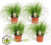 Plant in A Box - Set van 4 Cyperus kattengras planten - Pot ⌀12 cm - Hoogte ↕ 25-35cm