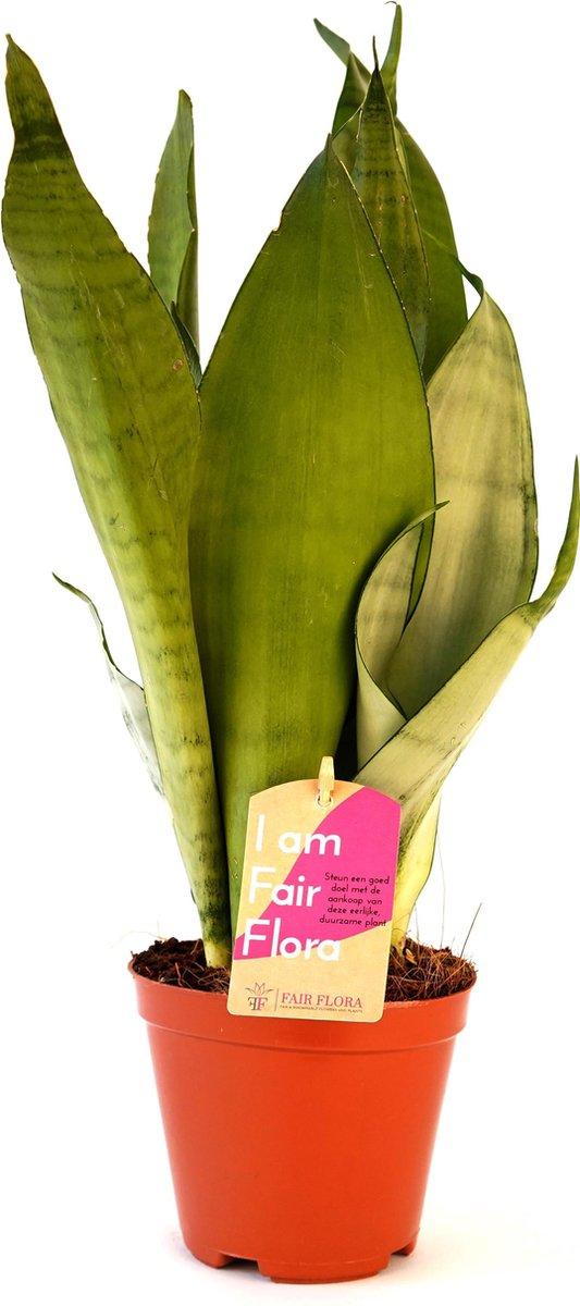 Duurzaam geproduceerde Kamerplant van FAIR FLORA® - 1 x Vrouwentongen - Hoogte: ca. 40 cm - Latijnse naam: Sansevieria trif. Moonshine