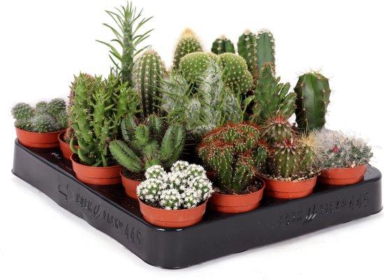 Mini cactus mix 7cm↑ Ø5cm – 5 stuks