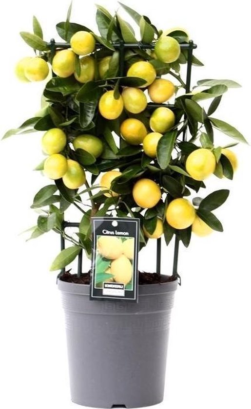 Fruitgewas van Botanicly – Citroenboom – Hoogte: 45 cm – Citrus Limon