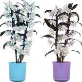 Orchideeën van Botanicly – 2 × Bamboe Orchidee – Hoogte: 50 cm, 2 takken – Dendrobium Nobilé