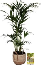 Pokon® Kentia Palm incl. watermeter en voeding - in Belmar Mand - hoogte ↕125 cm