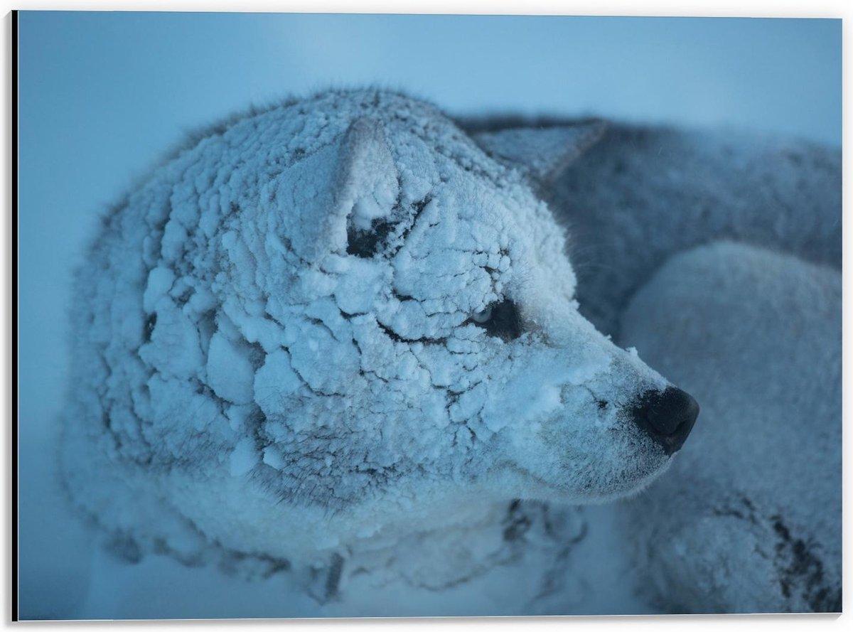 Dibond - Besneeuwde Wolf - 40x30cm Foto op Aluminium (Wanddecoratie van metaal)