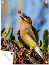 Een cederpestvogel speelt met een rode bes tuinposter 30x40 cm - klein - Tuindoek / Buitencanvas / Schilderijen voor buiten (tuin decoratie)