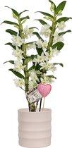 Orchidee van Botanicly – Cadeau! Witte Bamboo Orchid ® in keramiek pot 'Také' met hartje als set – Hoogte: 55 cm, 2 takken, witte bloemen – Dendrobium nobile Apollon