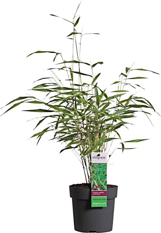 2x Fargesia 'Asian' - Bamboe rode stam - Groen-rood - Set van 2 - ↑ 30-75cm - Ø 13cm