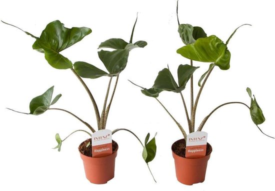 Choice of Green - Alocasia Stingray - set van 2 stuks - Kamerplant in Kwekers pot ⌀12 cm - Hoogte ↕45 cm