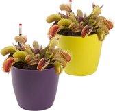 Swampworld Vleesetende plant - Venus vliegenval - Dionaea Muscipula - Ø 9 cm - Hoogte️ 10 cm - 2 stuks met watermeters