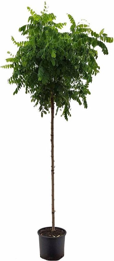 Robinia pseudoacacia 'Umbraculifera' Bolacacia