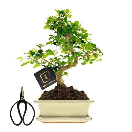Bol Com Bonsaiworld Bonsai Starter Kit 4 Delige Set 10 Jaar Oud 25 30 Cm