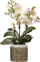 Kolibri Orchids | Phalaenopsis orchidee Blossom wit in cementen Grey Edge Gold pot - Ø9cm