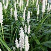 12 x Liriope muscari Monroe White - Leliegras in 9x9cm pot (stuksprijs €4,99)