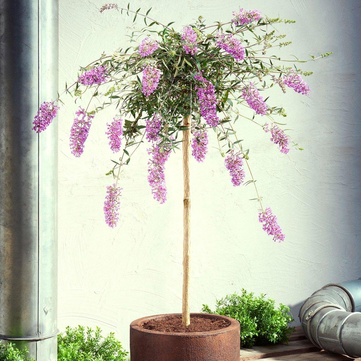 Vlinderstruik Buddleja 'Lavender Flow' op stam paars - Winterhard-   50 cm - Pot-  19 cm