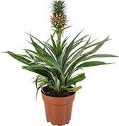 Ananasplant 'Bromelia' per stuk | Kamerplant in kwekerspot  ⌀12 cm - ↕40 cm