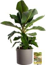 Pokon® Bananenplant incl. watermeter en voeding - in Mica Era Pot Grijs - hoogte ↕80cm