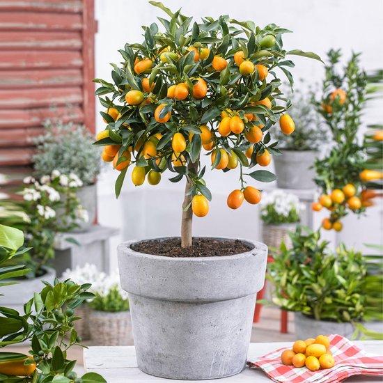 Citrus Japonica Kumquat - Kumquatboom - ↑ 80-85cm - Ø 22cm