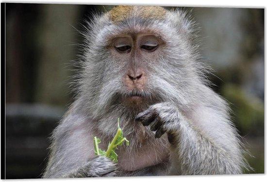Dibond –Aapje met Groen Takje in zijn Hand– 90x60 Foto op Aluminium (Met Ophangsysteem)