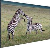 Spelende zebras Aluminium 180x120 cm - Foto print op Aluminium (metaal wanddecoratie) XXL / Groot formaat!