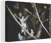 Postduif landt op een tak Canvas 140x90 cm - Foto print op Canvas schilderij (Wanddecoratie woonkamer / slaapkamer)