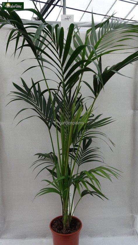 Howea Forsteriana; Totale hoogte 160-180cm hoogte incl. Ø 24 cm pot | Kentia palm ( Ideaal voor binnen )