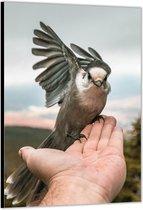 Dibond –Vogel op Hand– 30x40 Foto op Aluminium (met ophang)
