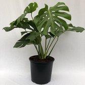 Monstera Gatenplant   Hoogte 120cm