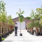 Winterlinde - Tilia cor. 'Greenspire' 300 - 400 totaalhoogte (10 - 14 cm stamomtrek)