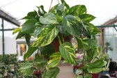 Gardenmarketplace Hangplanten Epipremnum pinnatum - Scindapsus - Money plant