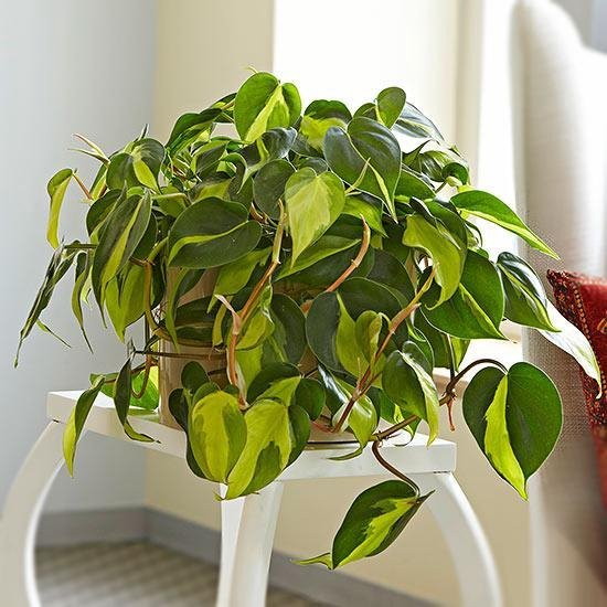 Find the perfect Philodendron for you on Bol.com