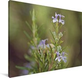 Rozemarijn in de natuur Canvas 40x30 cm - klein - Foto print op Canvas schilderij (Wanddecoratie woonkamer / slaapkamer)