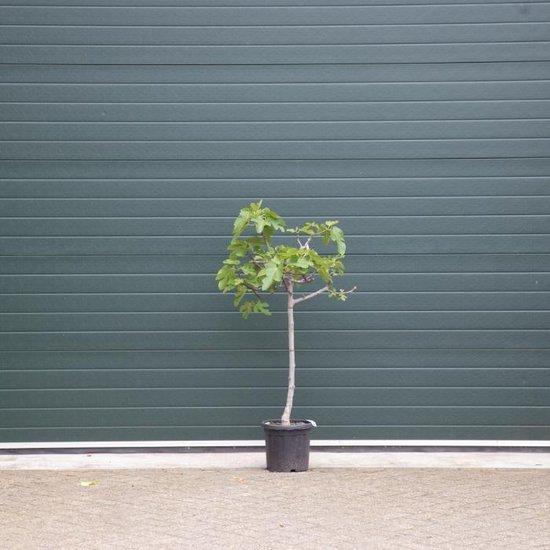 Vijgenboom - Ficus carica 125 - 150 cm (8 - 10 cm stamomtrek)