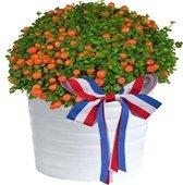 """Oranje Boven"" Lief plantje voor De Oranje Koningsdag Fan. Nertera Granadens 12cm pot Speciale aanbieding! Sale"
