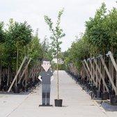 Zomereik - Quercus robur 200 - 300 cm totaalhoogte (6 - 10 cm stamomtrek)