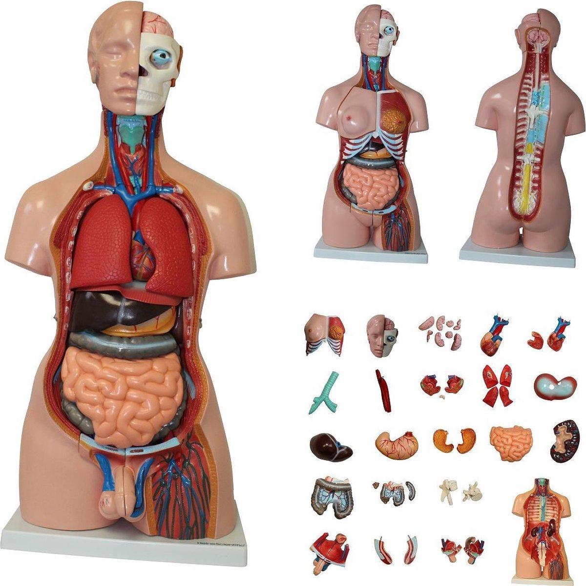 Uitgelezene bol.com | Het menselijk lichaam - anatomie model torso met organen UP-47