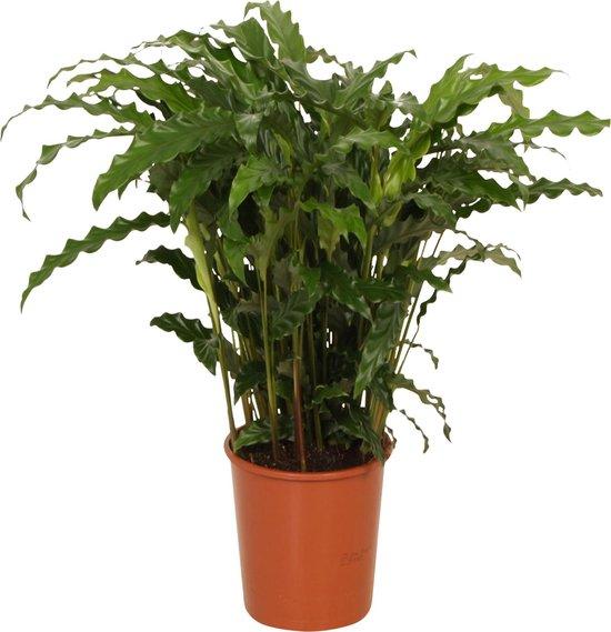 Calathea 'Blue Grass' - Luchtzuiverende Calathea - ↑ 60-70cm - Ø 17cm