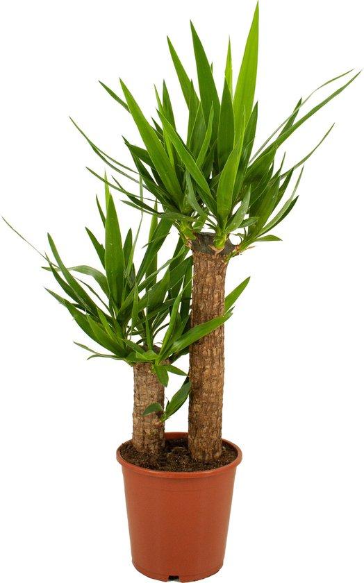 ZynesFlora | Yucca - Kamerplant in pot - Ø 19 cm - ↕ Hoogte: 80-90 cm – Palm - Palmlelie - Moederdag Cadeautje