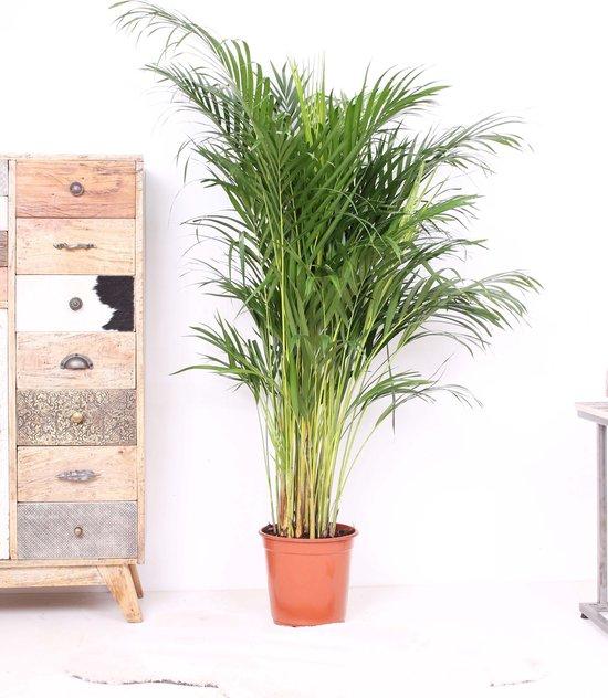 Kwekerij VDA plant - Areca palm - 130cm hoog - ø24cm potmaat - Grote Kamerplant - Tropische Palm